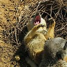 Sunbathing is so  hard-Meerkat Yawn by Eileen O'Rourke