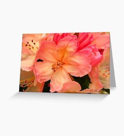 rhododendron in sunlight Greeting Card