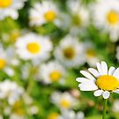 Happy Daisy  by Francesco Malpensi