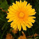 Lone dandelion  by Eileen O'Rourke