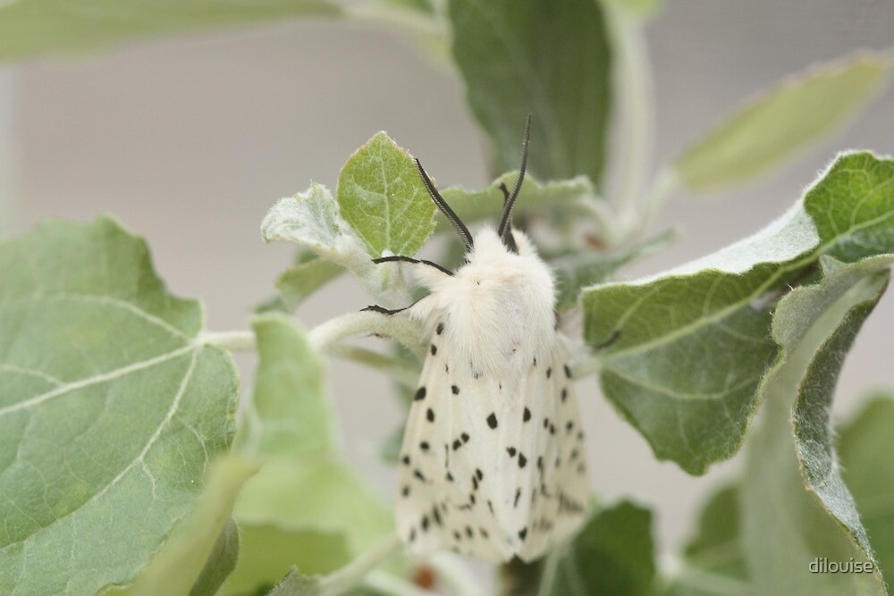 White Ermine Moth by dilouise