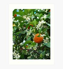 Orange tree with blossoms and fruit Art Print