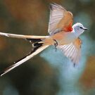 Aerial Ballet of the Scissortail  by Bonnie T.  Barry