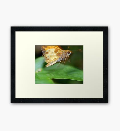 Moth On The Move Framed Print