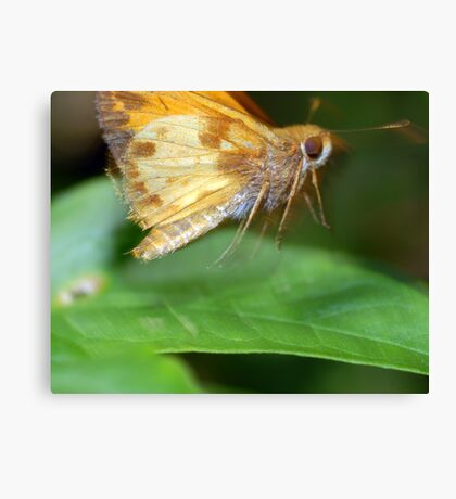 Moth On The Move Canvas Print