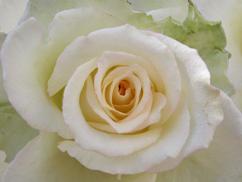 White rose with a peachy heart by walstraasart