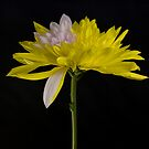 Chrysanthemum at midnight by Skye24Blue