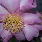 Pale pink camellia von 3Cavaliers