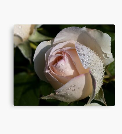 Pearls on the Rose Canvas Print