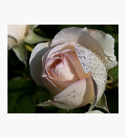 Pearls on the Rose Photographic Print