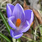 Crocus-Spring in the woods by Eileen O'Rourke