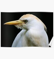 Cattle Egret Poster