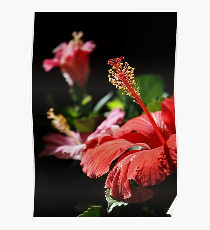 Multicolored Hibiscus Poster