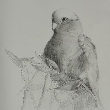 Galah on Acacia by ColinWilliams