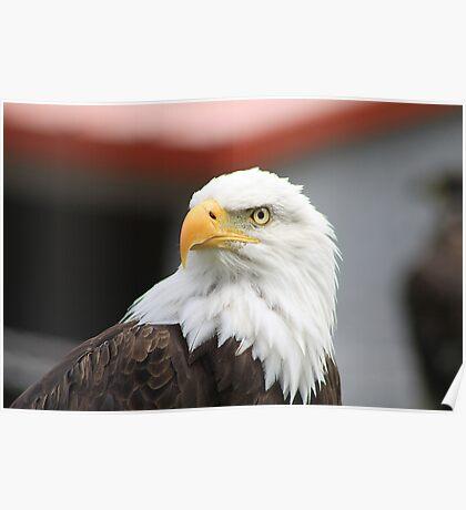 "Bald Eagle - ""Jefferson"" Poster"