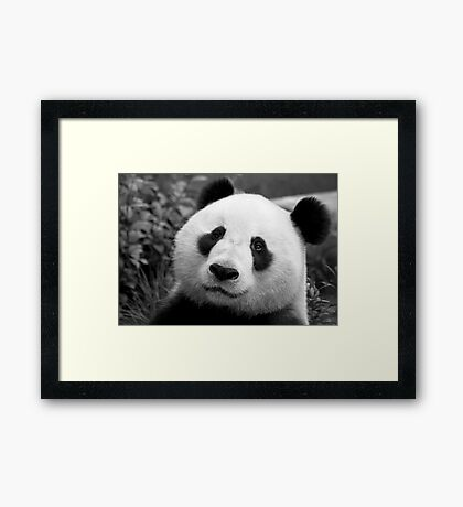 Giant Panda Framed Print