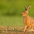 Urban Hare by Penny Dixie