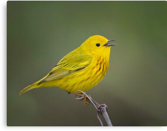 Yellow Warbler by Daniel  Parent