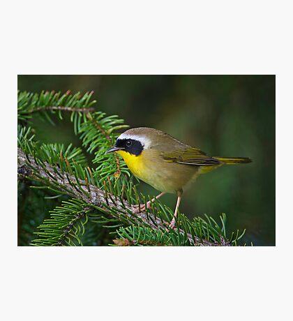 Common Yellowthroat Warbler Photographic Print