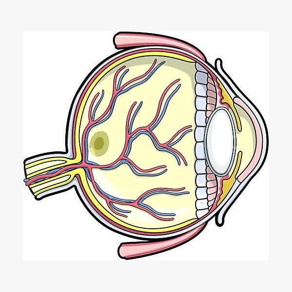 Ilustración de anatomía del ojo humano Lámina fotográfica