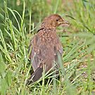 Young Blackbird by dilouise
