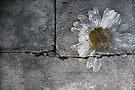 Daisy by SquarePeg