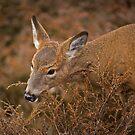 Feeding Deer by Daniel  Parent