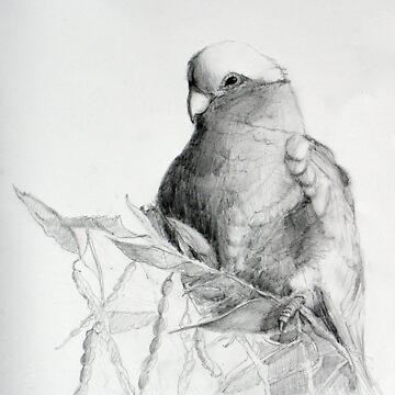 Parrots - Galah on Acacia by ColinWilliams