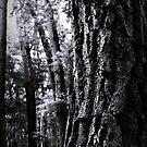 Old Pine by Jon Staniland