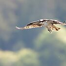 Osprey Flies Home with Fish by David Friederich