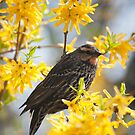 Female Red-winged Blackbird in Forsythia by Gary Chapple