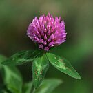 Red Clover - Trifolium pratense by jules572