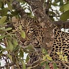 «OJO CUIDADO DEL LEOPARDO - Panthera pardus» de Magriet Meintjes