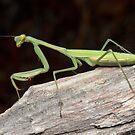 False Garden Mantis - Pseudomantis albofimbriata by Andrew Trevor-Jones