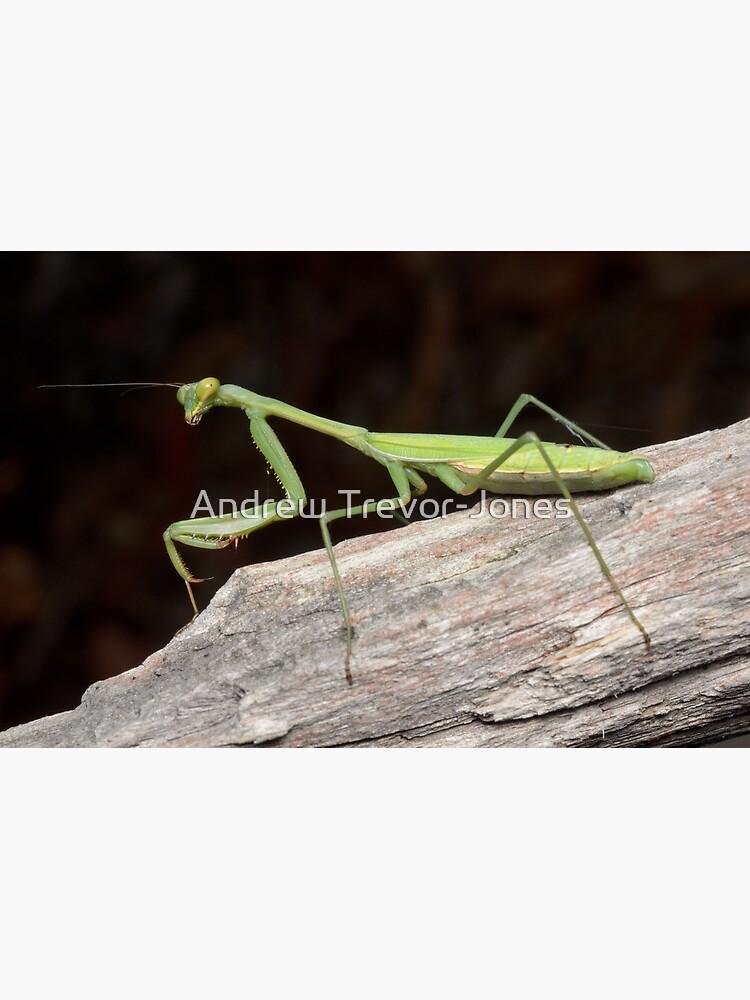 False Garden Mantis - Pseudomantis albofimbriata by andrewtj