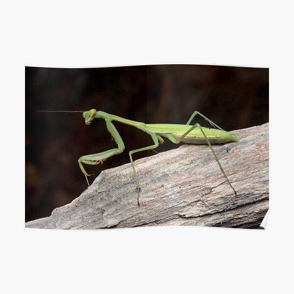 False Garden Mantis - Pseudomantis albofimbriata Poster