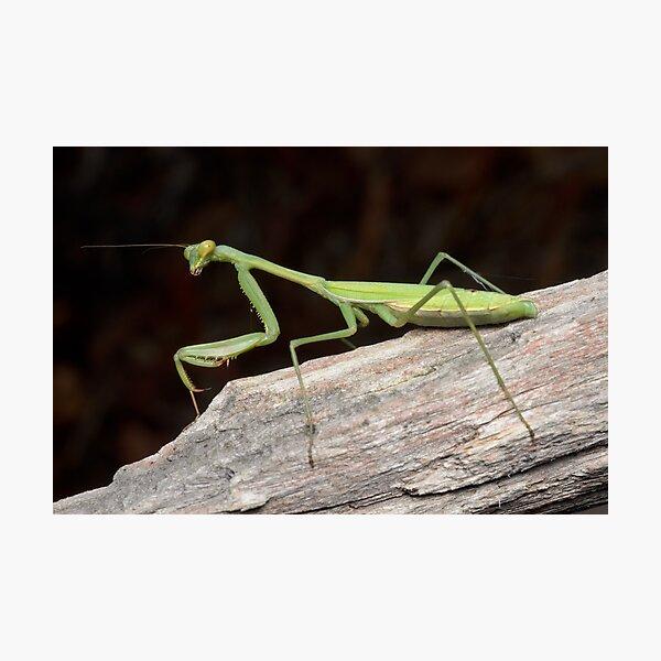 False Garden Mantis - Pseudomantis albofimbriata Photographic Print