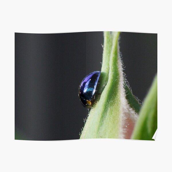 Steelblue Ladybird - Halmus chalybeus  Poster