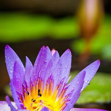 Water lilies by Jaykayl