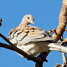 Preening Dove by Rick Playle