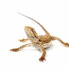 Bearded Dragon - pogona vitticeps by Linda Swadling