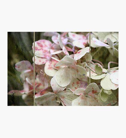 ~ Hydrangea in Triptych ~ Photographic Print