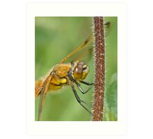 Four spotted chaser Art Print