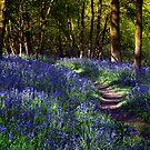 Bluebell Woods by Ann Garrett