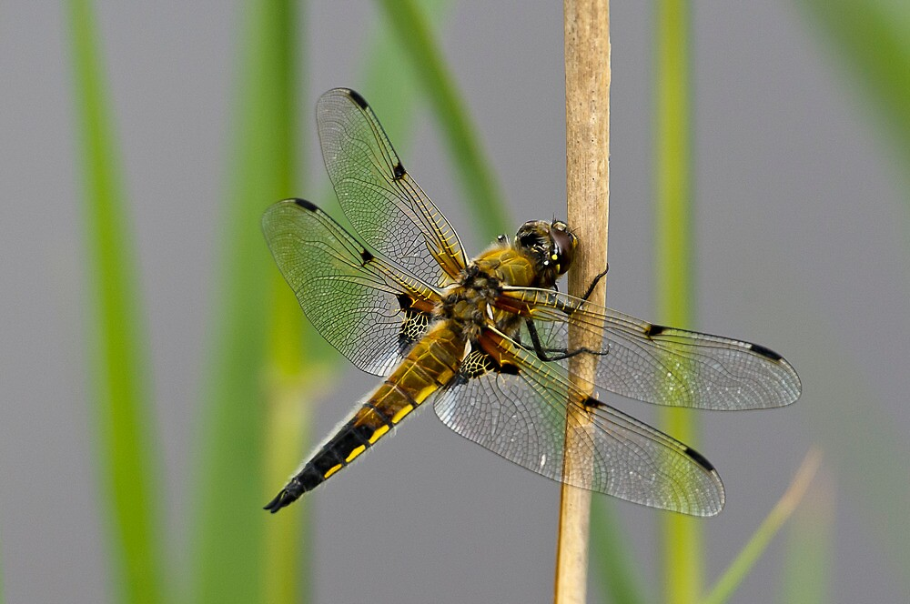 Dragonfly on reed stem by Gary Eason