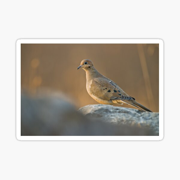 Mourning Dove On Rock Sticker