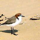 Red-capped Plover by EnviroKey