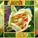 Tulip Poplar Tree Blossoms by debbiedoda