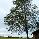 Old Cottonwood Tree  (Black Poplar) by MaeBelle
