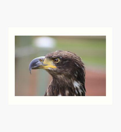 Juvenile Bald Eagle Art Print